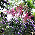 Texas Mountain Laurel and Redbud