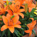 Day Lilies in Terra Cotta Planter