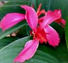 Dwarf Canna in our water gardens